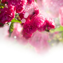 flowers-0000221