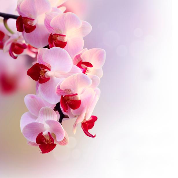 Фотообои на стену цветы - Ветка белой орхидеи (flowers-0000278)