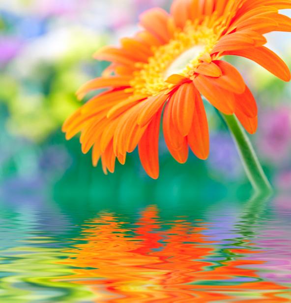 Обои фото Оранжевая гербера (flowers-0000319)