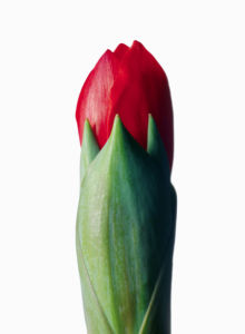 Фотообои на стену цветок - Бутон тюльпана (flowers-0000362)