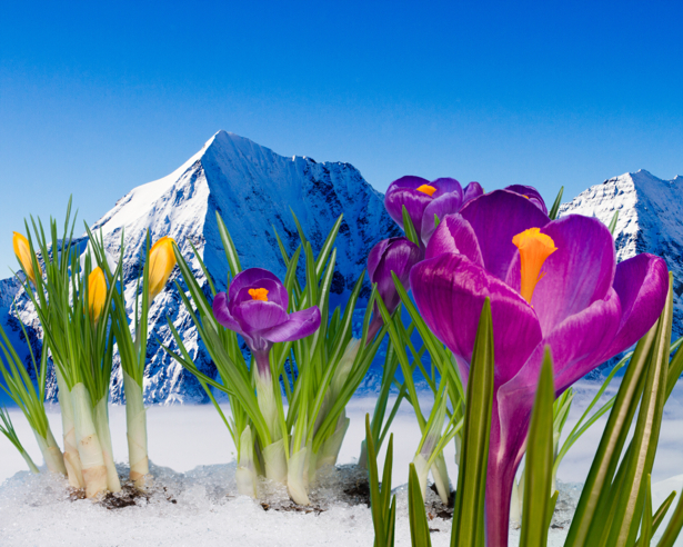 Фото обои цветок фиолетовые крокусы (flowers-0000412)