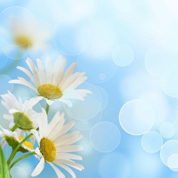 Фото обои цветы ромашки (flowers-0000584)