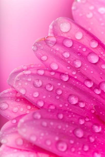 Цветочные фото обои лепестки герберы (flowers-0000660)