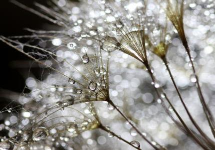 Фотообои капли росы (flowers-0000725)