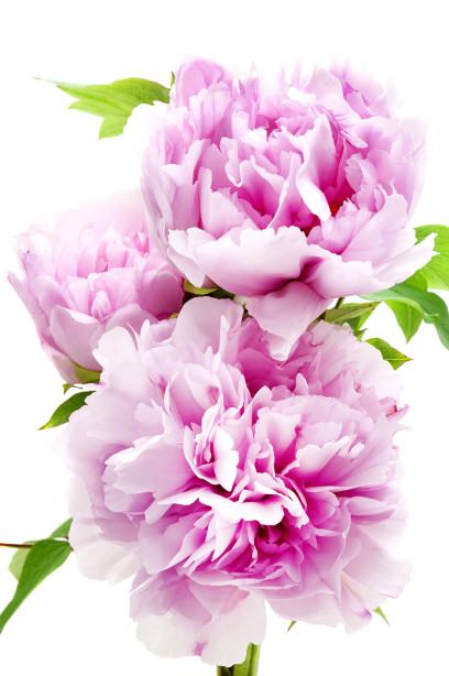 Фотообои розовые пионы (flowers-771)