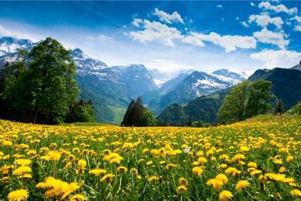 Фотообои природа поле одуванчиков (nature-00101)