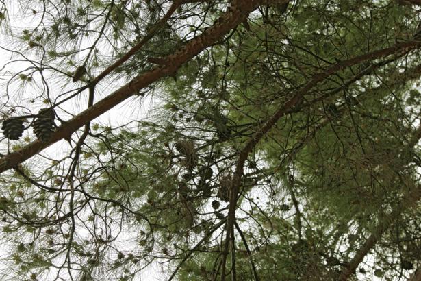 Фотообои деревья снизу ель (nature-00621)