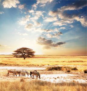 Фотообои с природой зебры саванна (animals-0000002)