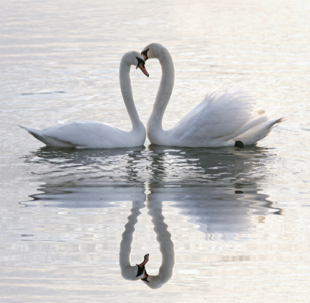 Фотообои лебеди на реке (animals-0000136)
