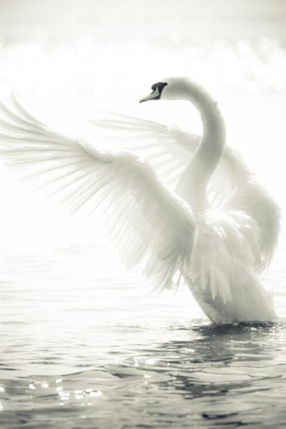 Фотообои белый лебедь на пруду (animals-0000141)