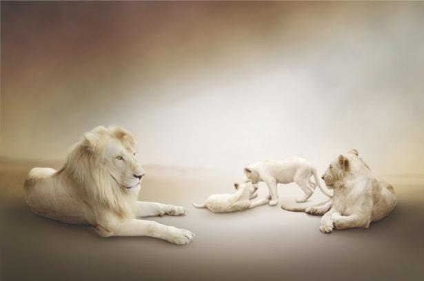 Фотообои львиная семья лев (animals-0000303)