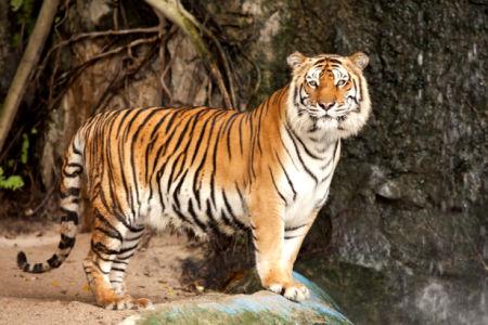 Фотообои тигр возле воды (animals-0000378)