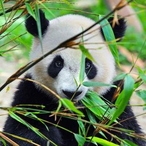 Фотообои Панда спряталась (animals-572)