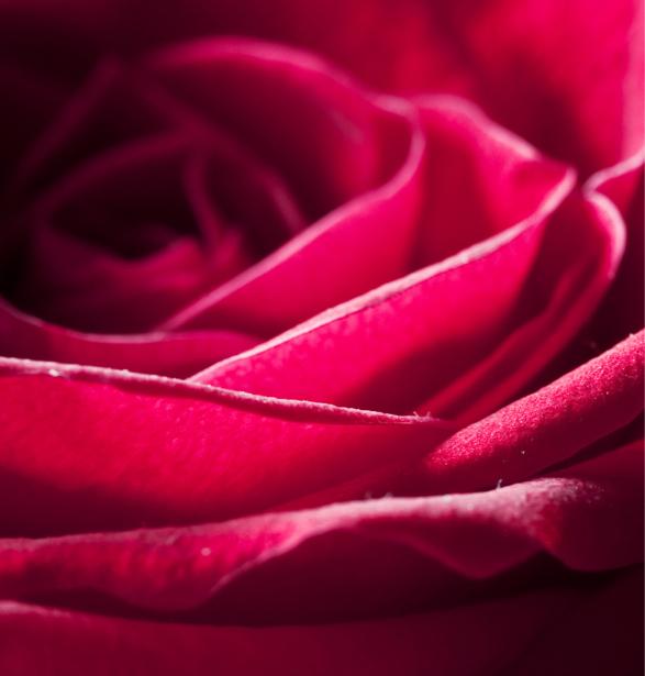 Красивые цветы фотообои Алая, красная роза (flowers-0000081)