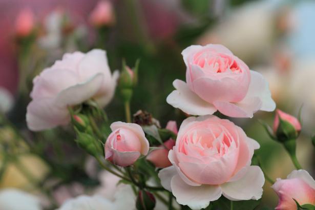 Куст роз - Фотообои на стену (flowers-0000217)