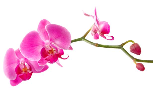 Фото обои цветы - Ветка розовой орхидеи (flowers-0000294)