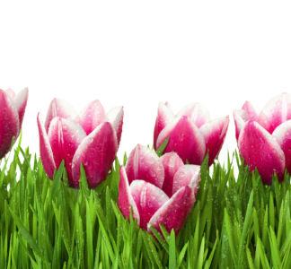 Фото обои для стен розовые тюльпаны (flowers-0000506)