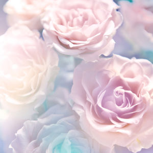 Фото обои цветок белые розы (flowers-0000528)