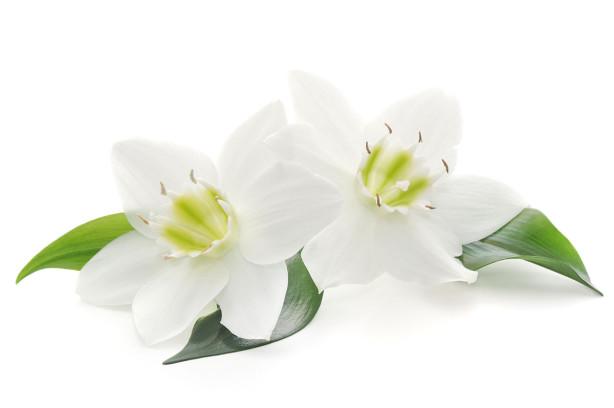 Фотообои Два белых цветка (flowers-806)