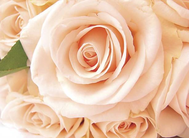 Фотообои роза (flowers288)