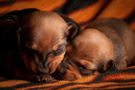 Фотообои собачьи щенки (animals-0000016)