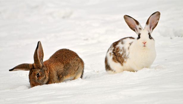 Фотообои зайцы, заец, кролик, (animals-0000057)