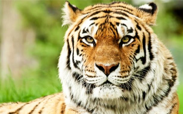 Фотообои тигр усатый полосатый (animals-0000132)