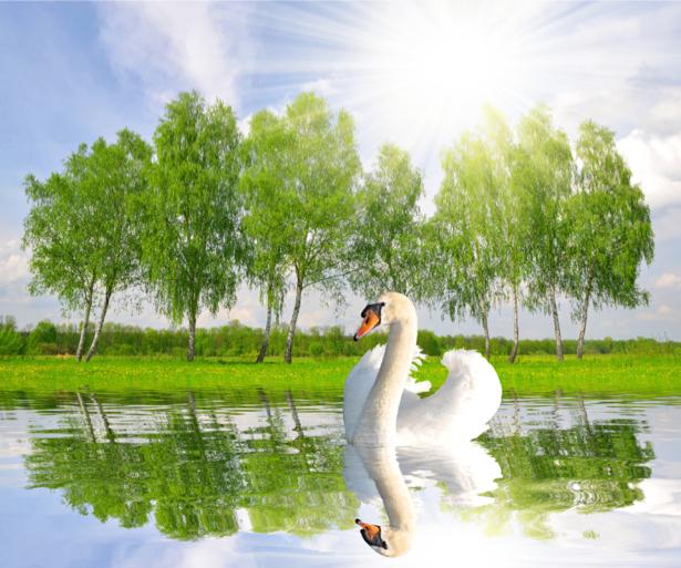 Фотообои лебедь на реке (animals-0000347)