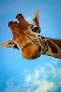 Фотообои Любопытный жираф (animals-512)