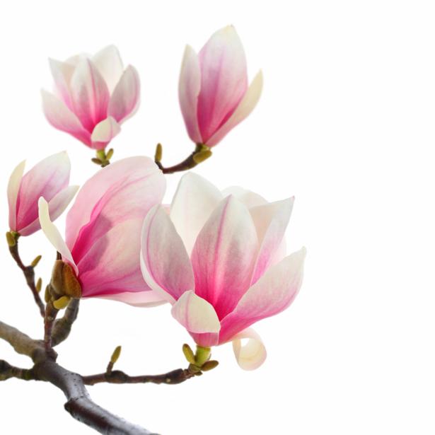 Ветка магнолии фотообои цветов на стену (flowers-0000006)