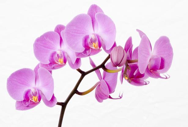 Розовая орхидея Фотообои на стену цветы (flowers-0000044)
