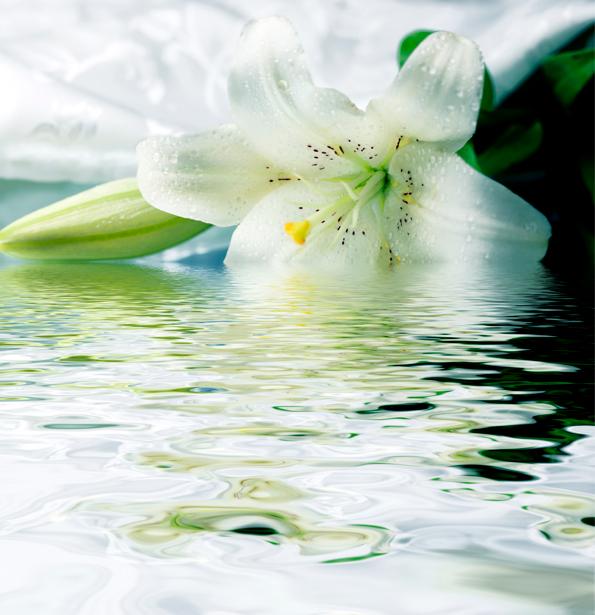Белая лилия в пруду фото обои цветы (flowers-0000242)
