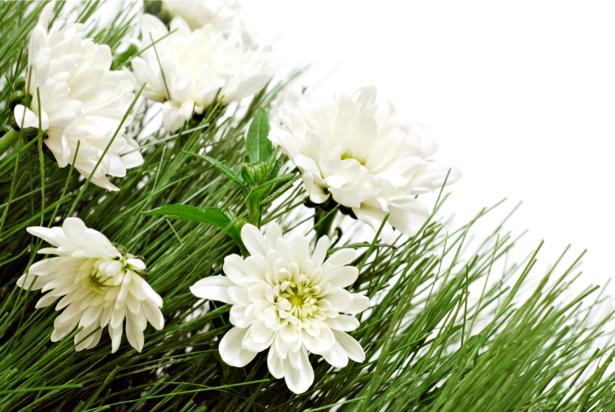 Белые хризантемы обои на стену (flowers-0000267)