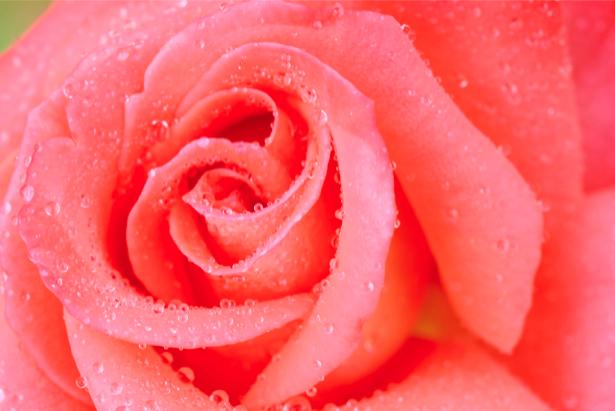 Кремовая роза с каплями росы фотообои цветок (flowers-0000285)