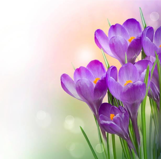Фотообои на стену цветок - фиолетовые крокусы (flowers-0000342)