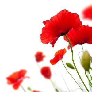 Цветок фото обои красные маки (flowers-0000599)