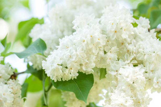 Цветочные фото обои белая сирень (flowers-0000649)