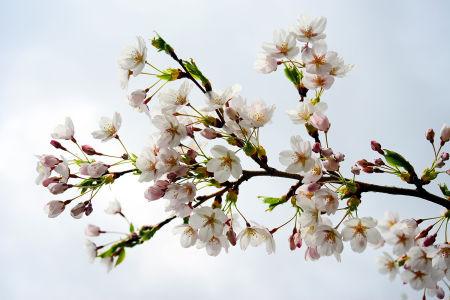 Фотообои ветка сакуры (flowers-766)