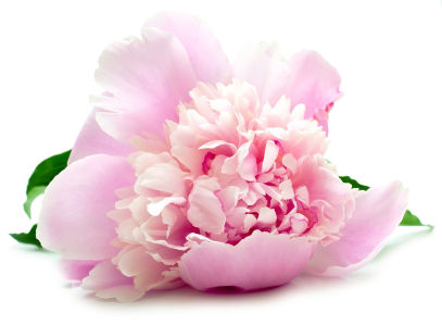 Фотообои пион (flowers-773)