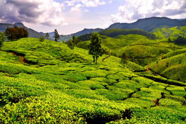 Фотообои чайное поле (nature-0000637)
