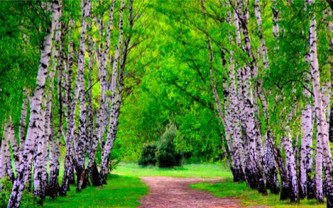 Фотообои дорога в березовой роще (nature-00102)