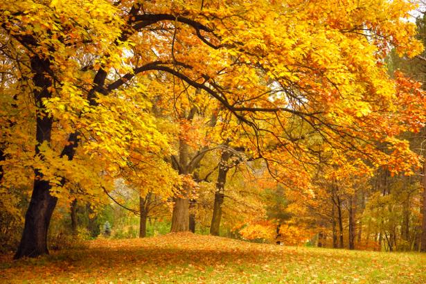Фотообои желтый осенний лес (nature-00510)