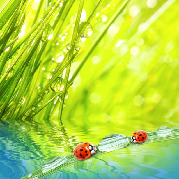 Фотообои божья коровка капли росы трава (animals-0000186)