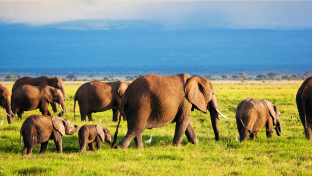 Фотообои Слоны (animals-0000435)
