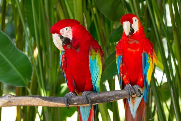 Фотообои красные попугаи ара пара (animals-0000486)
