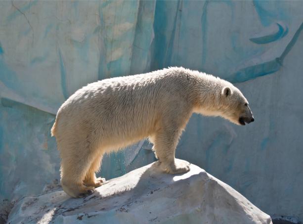 Фотообои белый медведь (animals-0000508)