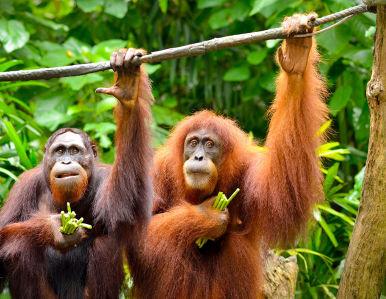 Фотообои Два Орангутана (animals-578)
