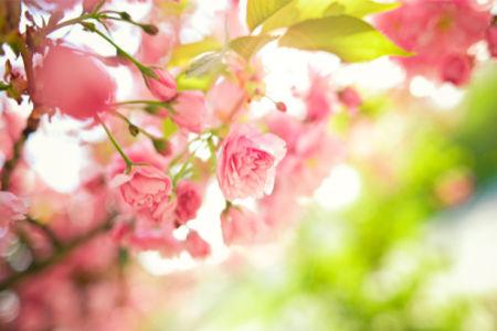 Фото обои на стену ветка цветущего дерева (flowers-0000426)
