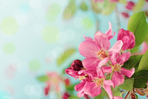 Обои фото ветка цветущего дерева (flowers-0000428)
