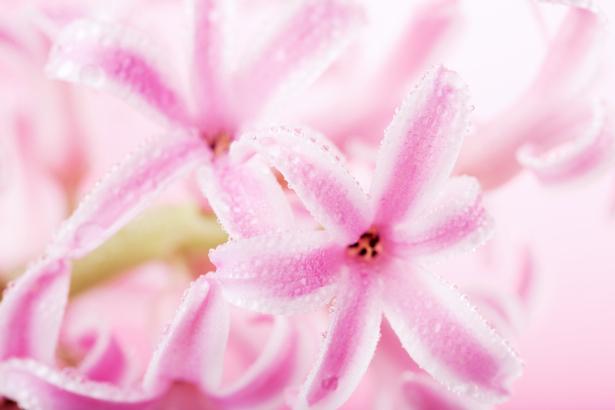 Обои фото цветы гиацинт (flowers-0000562)